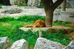 Lion sleep Royalty Free Stock Photography