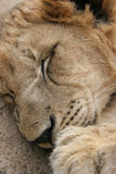 Lion Sleeping. In the sun after a meal stock image