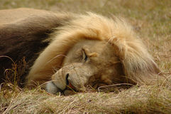 Lion sleeping. Totally relaxed old sleeping lazy lion male head portrait in a game reserve in South Africa Stock Photography