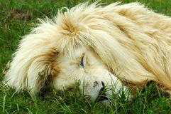 Lion sleeping. A rare white lion male head portrait sleeping in a game park in South Africa Royalty Free Stock Image