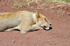 Lion sleeping Stock Photography