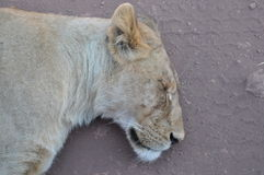 Lion sleeping Stock Photography