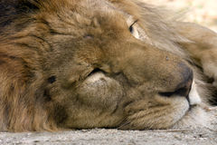 Lion sleeping. Lion male caught while resting and sleeping royalty free stock photo