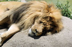 Lion sleeping Stock Photo