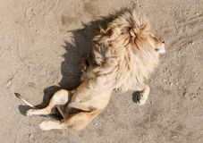 Lion sleeping on the back with paws in air Royalty Free Stock Photos