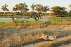 Lion sleeping in beautiful landscape Stock Images