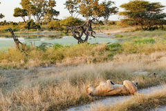Lion sleeping in beautiful landscape Stock Photography