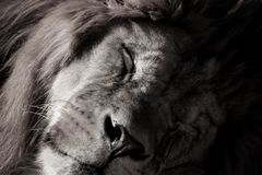 Lion is sleeping in black and white colour. Portrait lion with black and white colour. Face lion. Sleep lion.Photographs from the animal world. Black and white stock photo