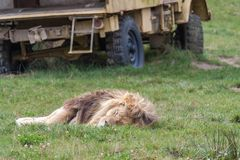 Lion sleeping in the grass in front of a yellow car royalty free stock photos