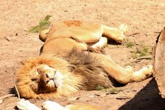 Lion sleeping in the heat of the day Royalty Free Stock Photography