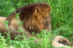 Lion sleeping in the high grass, Kruger National Park, South Africa Royalty Free Stock Image