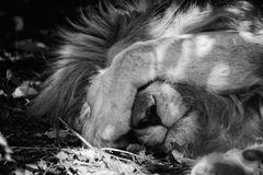 A lion sleeping Royalty Free Stock Photo