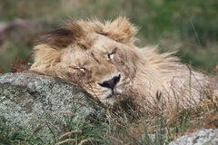 Lion Sleeping Royalty Free Stock Photos