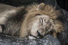 Lion sleeping Royalty Free Stock Image