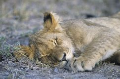 Lion sleeping on savannah close-up Stock Image