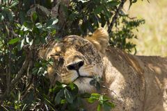 Lion sleeping in the shade Royalty Free Stock Image