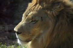 Lion Sleeping soñoliento en la sol caliente fotos de archivo