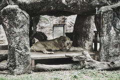 Lion sleeping in stone house Royalty Free Stock Photo