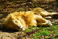 Lion sleeping in the sun, at the zoo royalty free stock photography