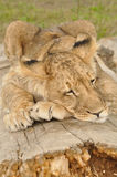 Lion sleeping on tree. Lion cub sleeping on tree trunk Royalty Free Stock Images