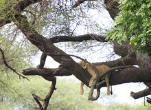 Lion sleeping in tree. A lioness is lying on a branch of a tree and sleeps. Paws hanging down het branch Stock Photo