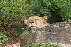 Lion sleeping Royalty Free Stock Images