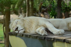 The lion sleeps at the zoo. The lion sleeps and sweet dream at the zoo Royalty Free Stock Photo