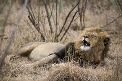 Lion. Sleepy lion lying in the bushes. South Africa Stock Image