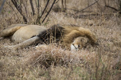 Lion. Sleepy lion lying in the bushes. South Africa Royalty Free Stock Image