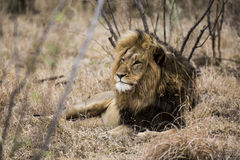 Lion. Sleepy lion lying in the bushes. South Africa Royalty Free Stock Photography