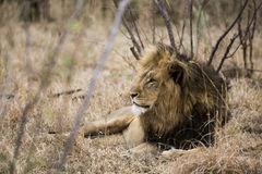 Lion. Sleepy lion lying in the bushes. South Africa Royalty Free Stock Photo