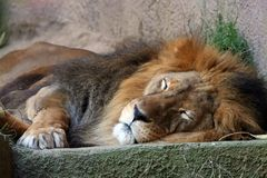 Lion sleping royalty free stock photo