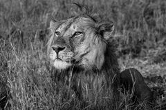 Lion looking into the distant and smelling the breeze of air Royalty Free Stock Photo
