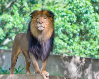 Lion, Smithsonian National Zoo, Washington, D.C. Stock Photos