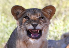 Lion snarling Stock Photography