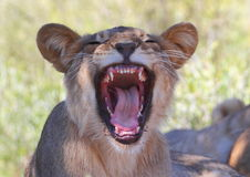 Lion snarling Royalty Free Stock Image