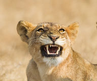 Lion Snarling Arkivbilder