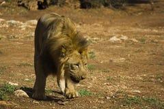 Lion sniffs the ground. African felines. Big lion sniffs the ground Royalty Free Stock Images