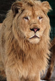 Lion at snow portrait Royalty Free Stock Images