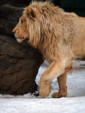 Lion at snow walking close up Royalty Free Stock Image