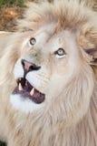 Lion som ser upp Arkivfoto