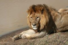 lion som vilar tanzania Arkivfoton