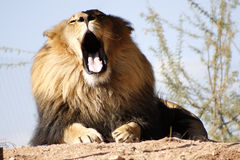 Lion somnolent Photos stock