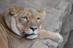 Lion somnolent Photos libres de droits