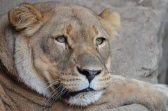 Lion somnolent 2 Photo libre de droits