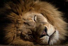 Lion somnolent Photographie stock libre de droits