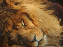 Lion somnolent Images stock