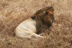 Lion somnolent Photographie stock
