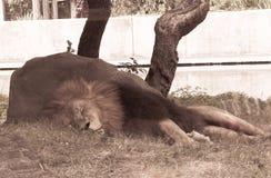 Lion somnolent images libres de droits