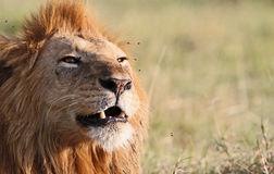 Lion Sound Royalty Free Stock Photo